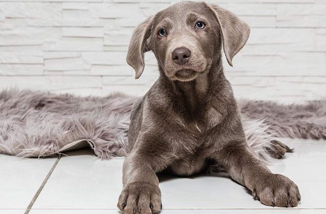 cachorro de labrador plateado