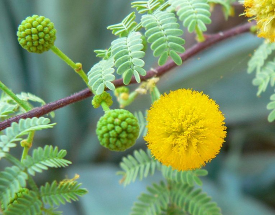Acacia Acacia Arabica Lam Willd