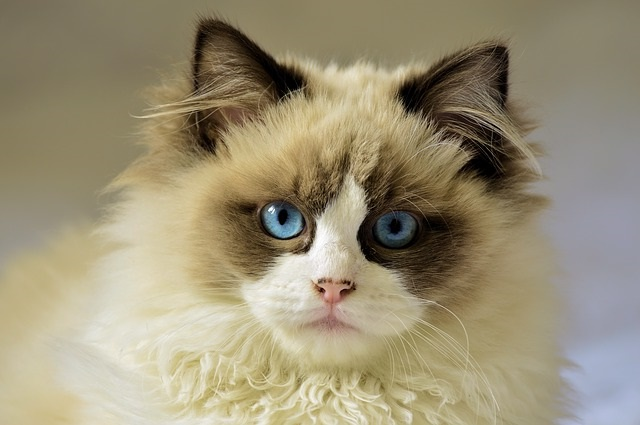 Kucing Ragdolls