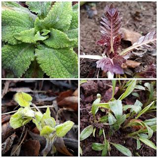 Dry shade border, Digitalis purpurea,  Valeriana officinalis, Brunnera macrophylla,  Aster (Symphyotrichum) pilosum var. Pringlei 'Monte Cassino'