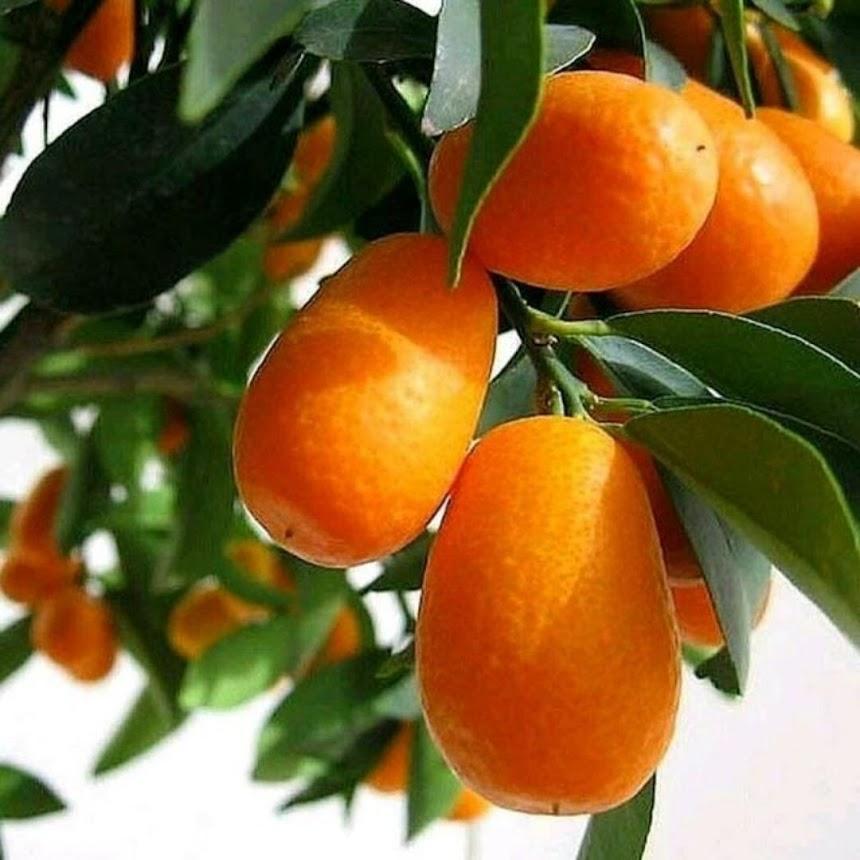 Bibit Tanaman buah jeruk nagami unggul Sumatra Barat