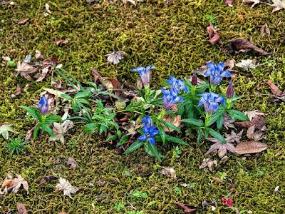Rindo (Gentiana) flowers: Tokei-ji