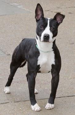 Adopt Uno A Boston Terrier Mix