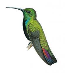 Anthracothorax viridigula