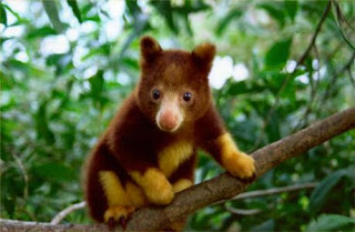 Baby Huon Tree Kangaroo Papua Endemic Species