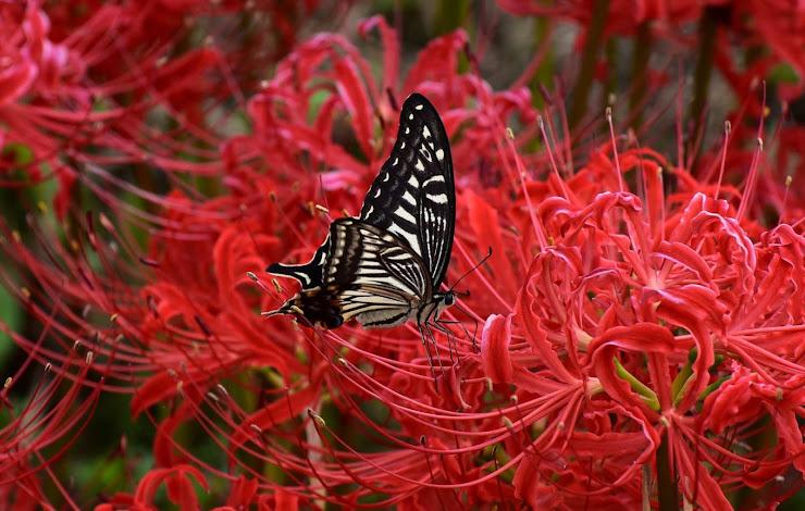 赤い彼岸花に止まるアゲハ