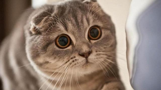 Ciri ciri kucing scottish fold