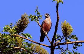 Dusky parrot