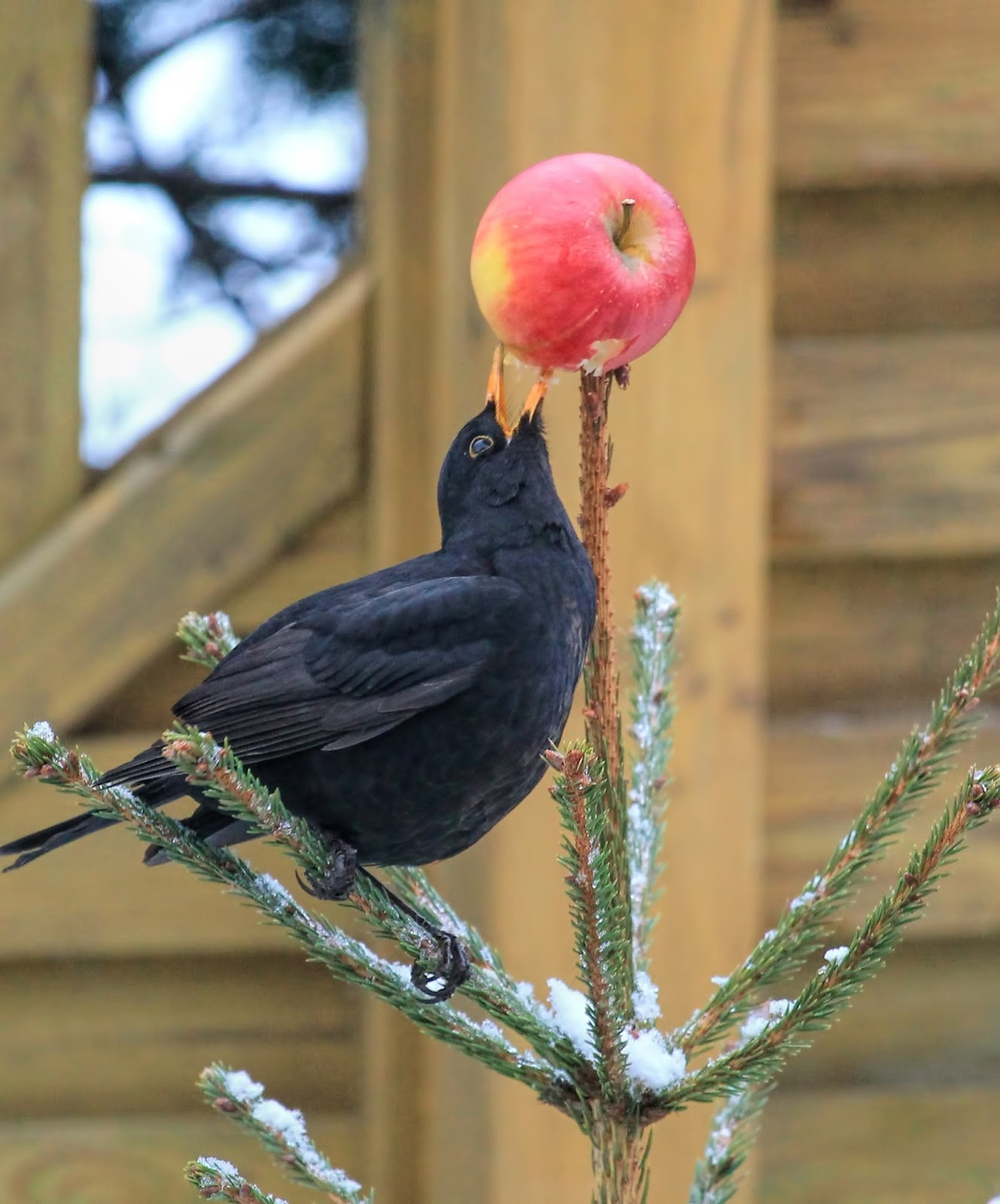 Picture of a black bird eating an apple.