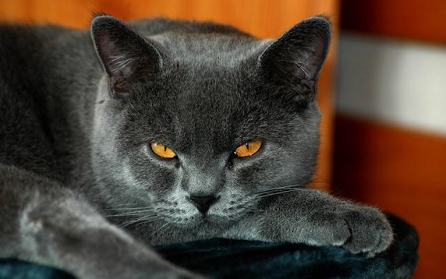 Foto van grijze kat