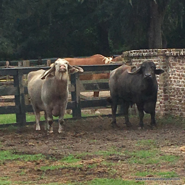 water buffalo in Plantation Stableyards at Middleton Place plantation in Charleston, South Carolina