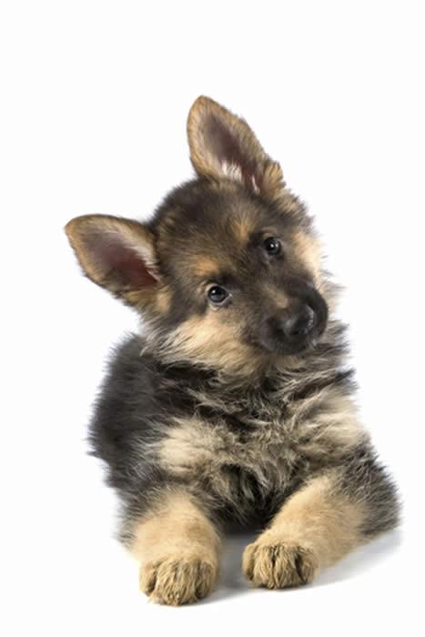 German Shepherd Baby Free