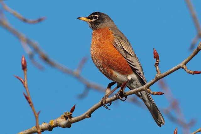 american robin images download