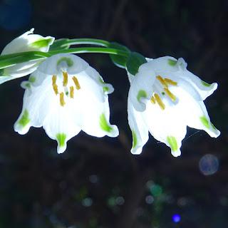 スノーフレークの花のアップ