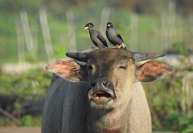 burung pemakan kutu - catatanadi.com