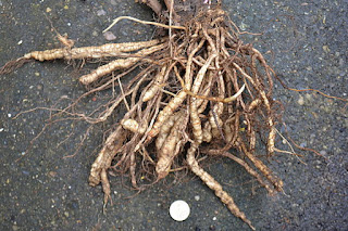 Skirret from Scotland