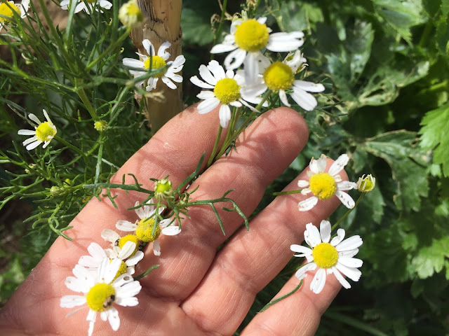 There's many aromatic and medicinal plants that you can grow right in your own garden to treat everything from headaches to infections