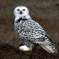 Snowy Owl juvenile – Barrow, AK – Sept. 2006 – photo by Floyd Davidson