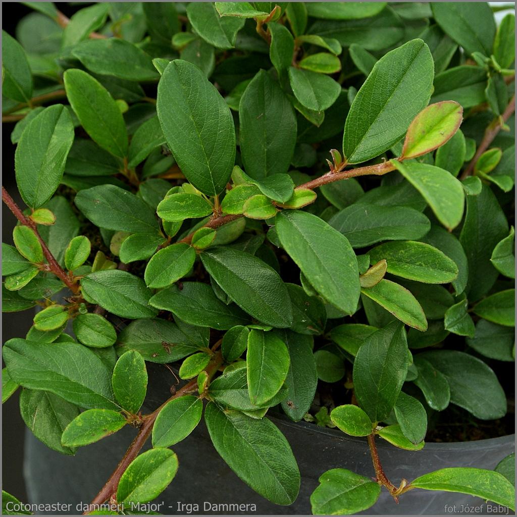 Encyklopedia Roślin: Cotoneaster Dammeri
