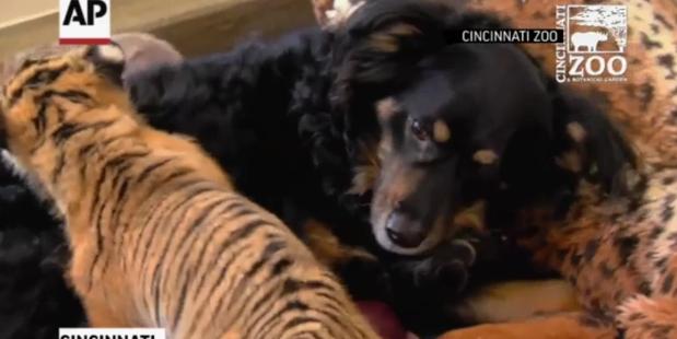 Dog takes over as tiger cubs' 'nanny' at Cincinnati Zoo