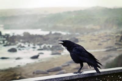 Kouwa (crow) ki lifestyle