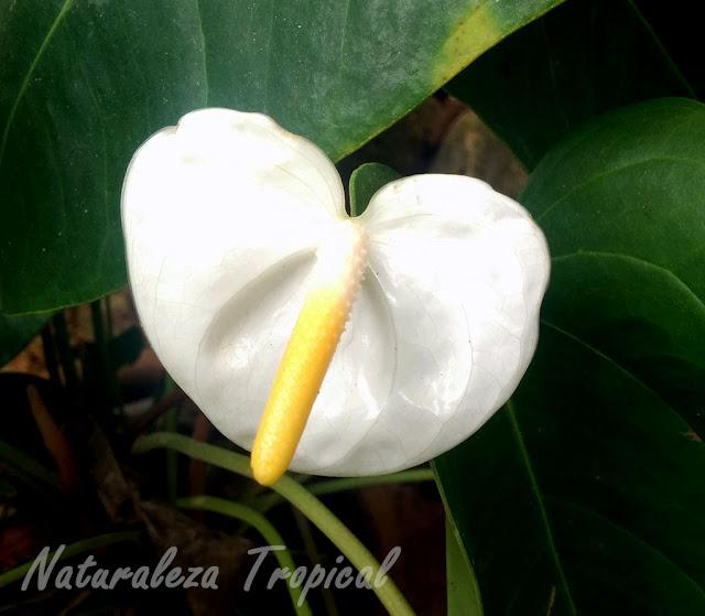 Variedad blanca de la inflorescencia de un anturio, género Anthurium