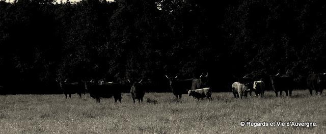 Vaches la nuit.