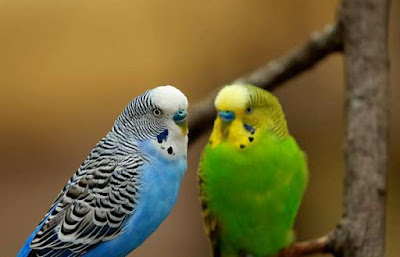 It is important to know that parakeets are entertaining pets 6 Tips for Caring for Your Parakeet