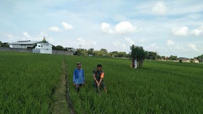 Serka Samidi Dampingi Upsus Penyiangan Tanaman Padi di Wilayah Binaannya
