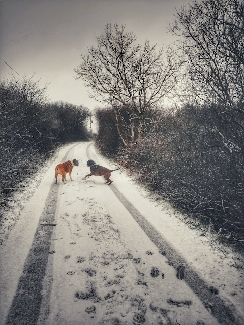 Boxer dogs playing in the snow, road, trees, Connemara, Galway