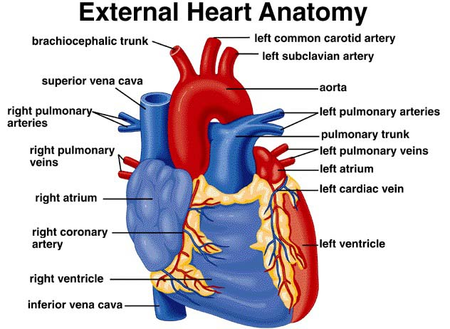 The external structure of human heart - Ishwaranand