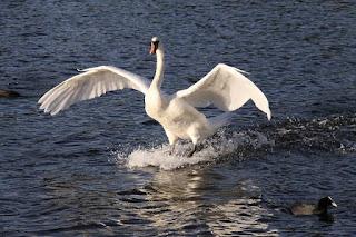 Landing of large bird on water