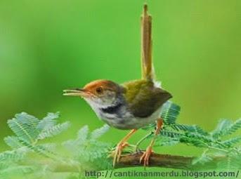 Budidaya Burung: Beberapa jenis burung Prenjak yang