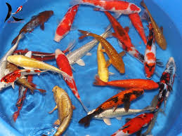 Best T1ps To Disease Treatment on Koi Fish - Coloring Pages Animals