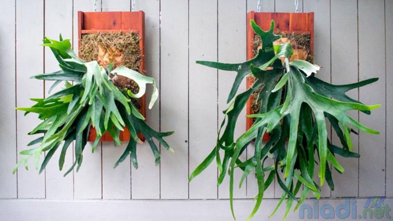 manfaat dan cara merawat tanaman hias paku tanduk rusa Staghorn Fern