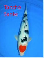 Ikan Hias Air Tawar Termahal jenis koi tancho sanke