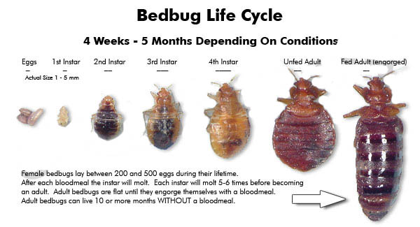 phillable's blog: bed bug; a common enemy of man, life cycle and