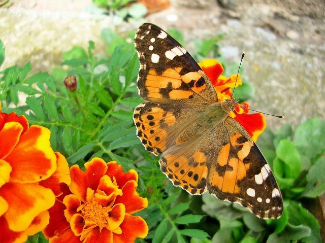 polskie motyle, kwiaty, łaka