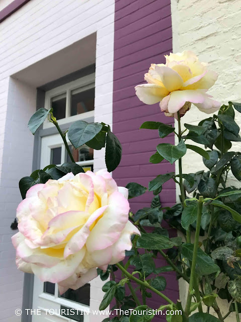 Light yellow roses grow in front of a purple and white facade
