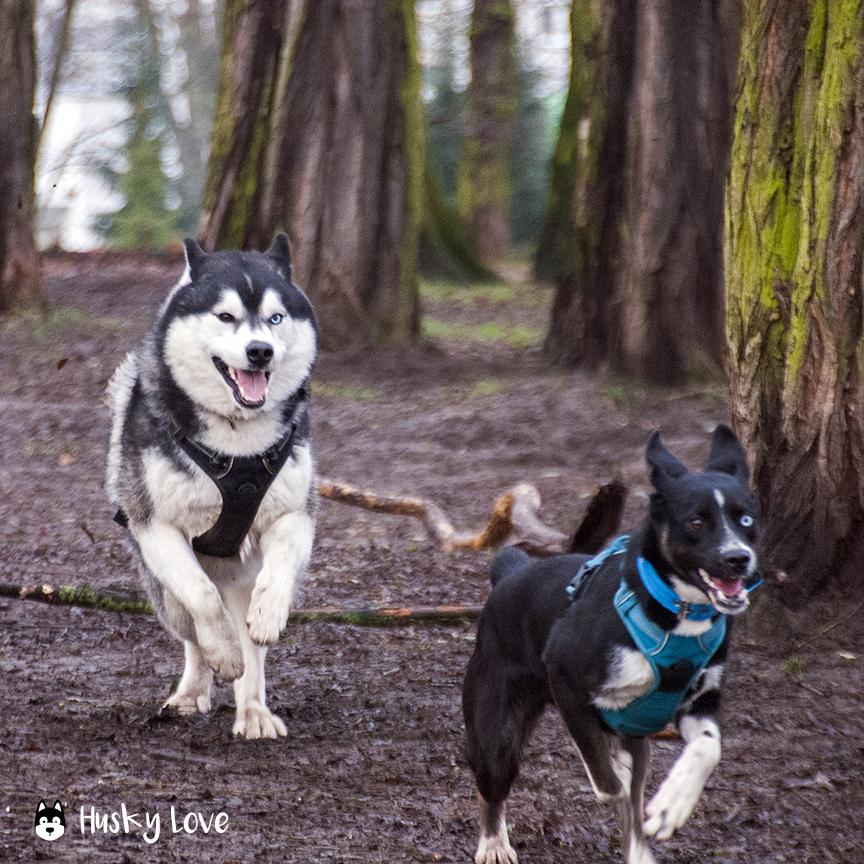 Loki i Łajka w szalonej gonitwie na psim wybiegu, fot. Husky Love