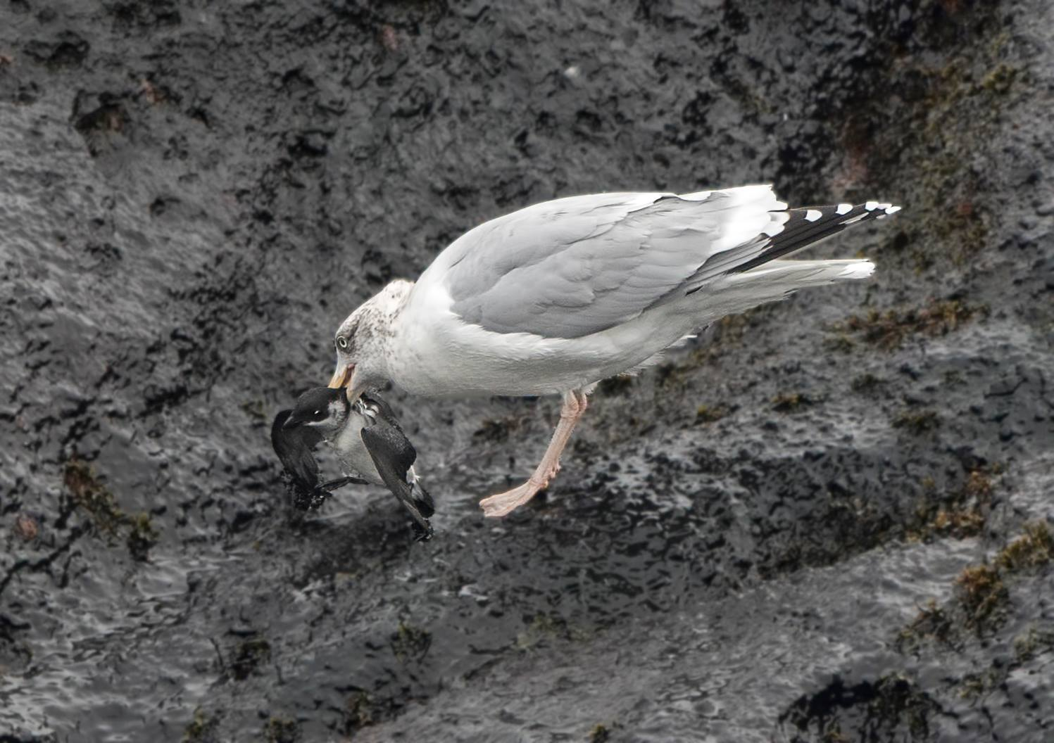 Dovekies Are Small But They Are Fighters Against All Odds This Bird Escaped And Was None The Worse For Its Encounter With This Herring Gull