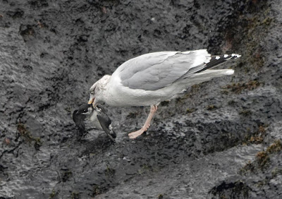 Dovekie escapes from Herring Gull