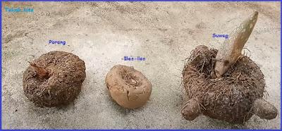 Perbedaan Porang Dan suweg juga Iles-iles