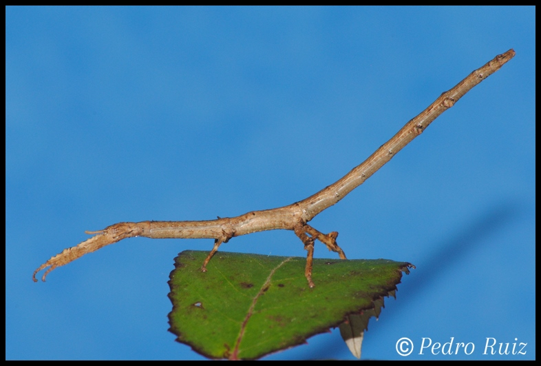 Ninfa hembra L4 de Achrioptera manga, 6,5 cm de longitud