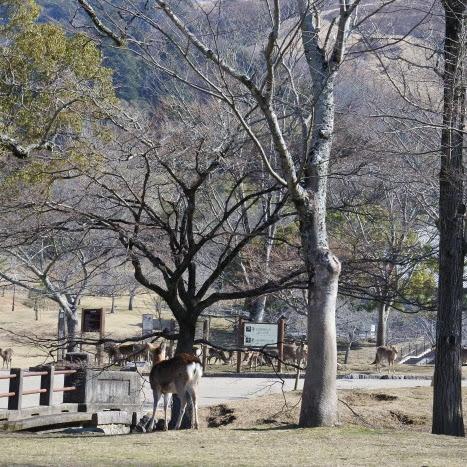 Belajar Menulis di antara Ribuan Rusa Cantik di Nara Park