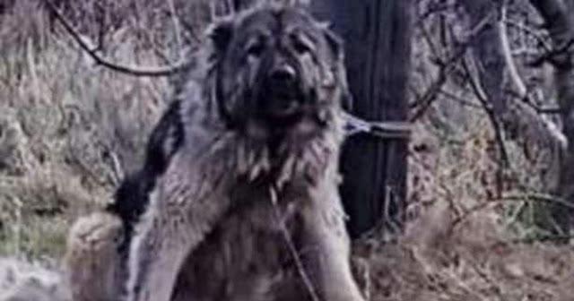 Полицейские пристрелили брошенную собаку, которую хозяин привязал к столбу