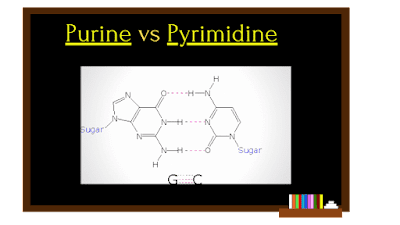 purines vs pyrimidines, structure of purine and pyrimidine bases, structure of purine and pyrimidine, purines and pyrimidines, purine vs pyrimidine residues, purine vs pyrimidine hydrogen bonding, purine vs pyrimidine difference, Chemical properties of purines and pyrimidines,How purine and pyrimidines differs, The Science Info, Science Info, purine vs pyrimidine bonds, purine vs pyrimidine, structure of purines and pyrimidines, purine structure vs. pyrimidine structure.