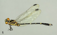 http://sciencythoughts.blogspot.co.uk/2015/03/a-new-species-of-clubtail-dragonfly.html