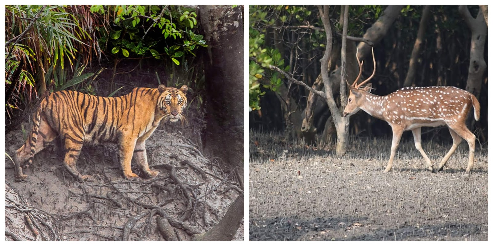 Wildlife of Sundarbans National Park