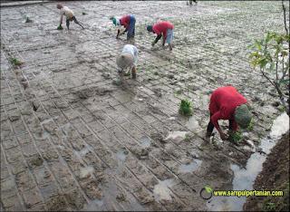 Keuntungan tanam padi dengan Tanju (Tanam maju)